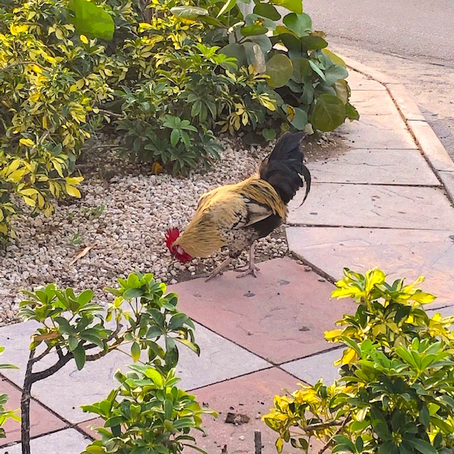 Cayman Rooster