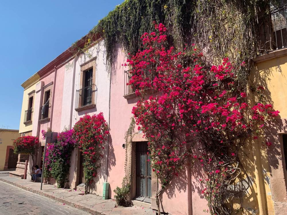 Bougainvilleas cover a pink facade in residential area of the historical center