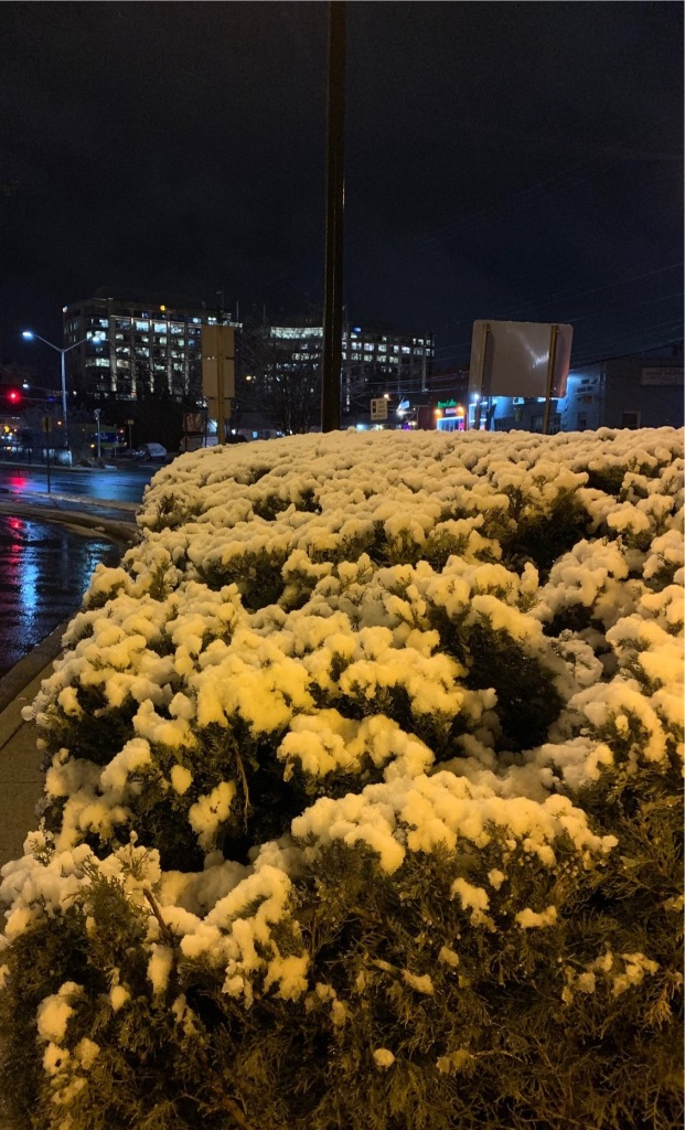 Snow on bushes at night, near Rockville Metro