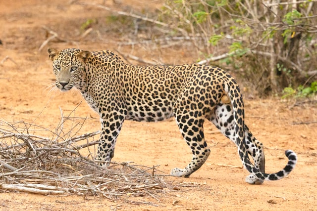 Leopard looking at the camera, Yala National Park