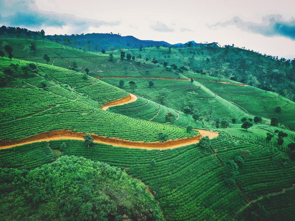 Lush green tea plantation with rows of terraced tea plants