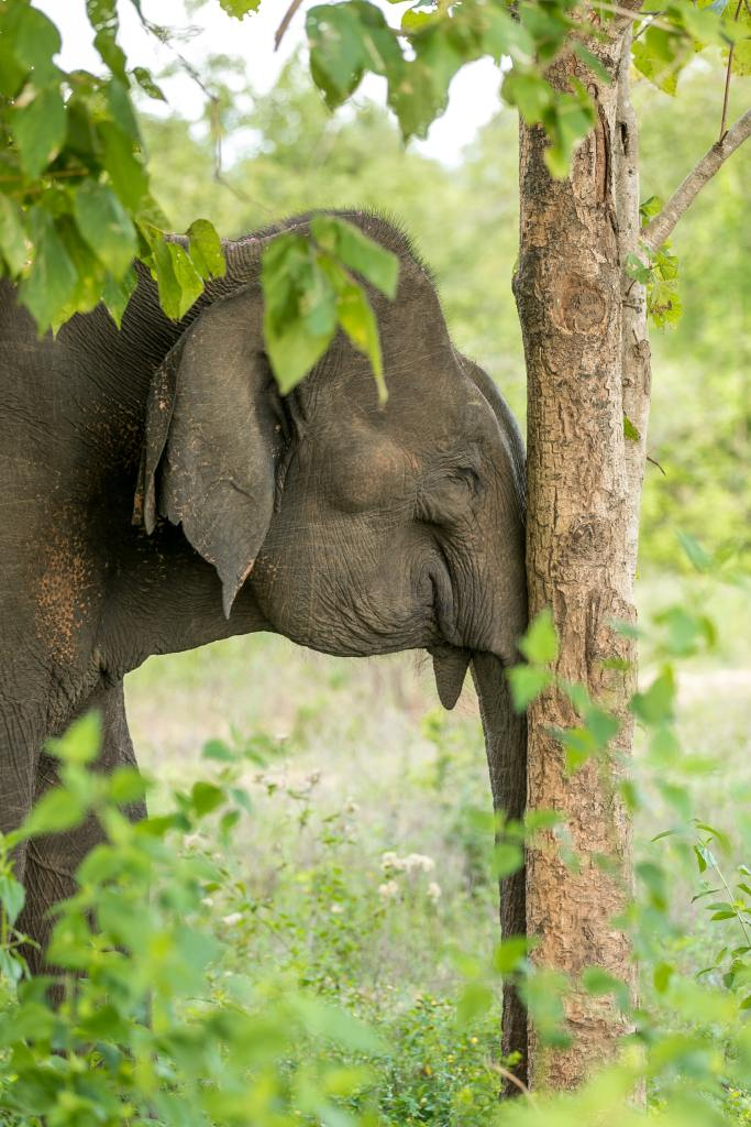 Elephant sleeping standing up with its head against a thin tree at Udawalawe National Park